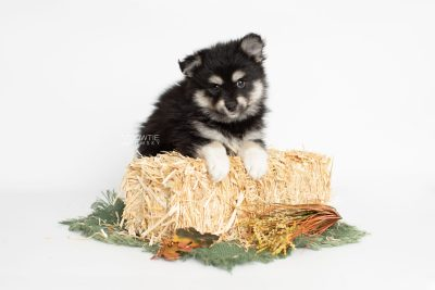 puppy205 week7 BowTiePomsky.com Bowtie Pomsky Puppy For Sale Husky Pomeranian Mini Dog Spokane WA Breeder Blue Eyes Pomskies Celebrity Puppy web4
