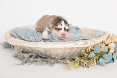 puppy206 week1 BowTiePomsky.com Bowtie Pomsky Puppy For Sale Husky Pomeranian Mini Dog Spokane WA Breeder Blue Eyes Pomskies Celebrity Puppy web1