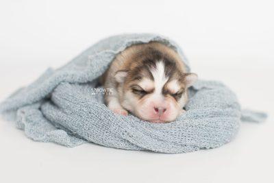 puppy206 week1 BowTiePomsky.com Bowtie Pomsky Puppy For Sale Husky Pomeranian Mini Dog Spokane WA Breeder Blue Eyes Pomskies Celebrity Puppy web7