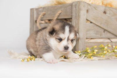 puppy206 week3 BowTiePomsky.com Bowtie Pomsky Puppy For Sale Husky Pomeranian Mini Dog Spokane WA Breeder Blue Eyes Pomskies Celebrity Puppy web1