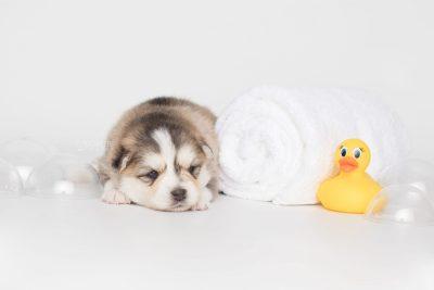 puppy206 week3 BowTiePomsky.com Bowtie Pomsky Puppy For Sale Husky Pomeranian Mini Dog Spokane WA Breeder Blue Eyes Pomskies Celebrity Puppy web8