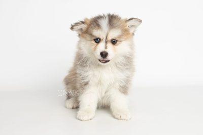 puppy206 week7 BowTiePomsky.com Bowtie Pomsky Puppy For Sale Husky Pomeranian Mini Dog Spokane WA Breeder Blue Eyes Pomskies Celebrity Puppy web1
