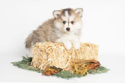 puppy206 week7 BowTiePomsky.com Bowtie Pomsky Puppy For Sale Husky Pomeranian Mini Dog Spokane WA Breeder Blue Eyes Pomskies Celebrity Puppy web4