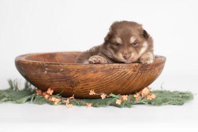 puppy210 week3 BowTiePomsky.com Bowtie Pomsky Puppy For Sale Husky Pomeranian Mini Dog Spokane WA Breeder Blue Eyes Pomskies Celebrity Puppy web1