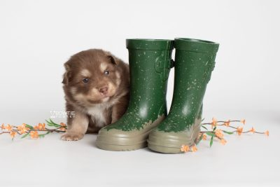 puppy210 week3 BowTiePomsky.com Bowtie Pomsky Puppy For Sale Husky Pomeranian Mini Dog Spokane WA Breeder Blue Eyes Pomskies Celebrity Puppy web9