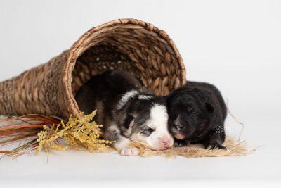 puppy212-213 week1 BowTiePomsky.com Bowtie Pomsky Puppy For Sale Husky Pomeranian Mini Dog Spokane WA Breeder Blue Eyes Pomskies Celebrity Puppy web2