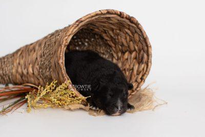 puppy213 week1 BowTiePomsky.com Bowtie Pomsky Puppy For Sale Husky Pomeranian Mini Dog Spokane WA Breeder Blue Eyes Pomskies Celebrity Puppy web1