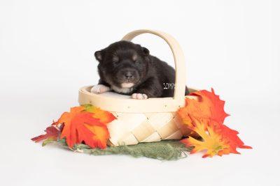 puppy217 week1 BowTiePomsky.com Bowtie Pomsky Puppy For Sale Husky Pomeranian Mini Dog Spokane WA Breeder Blue Eyes Pomskies Celebrity Puppy web3
