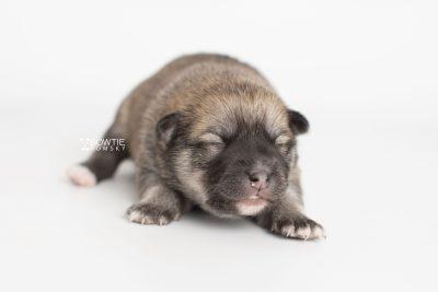puppy218 week1 BowTiePomsky.com Bowtie Pomsky Puppy For Sale Husky Pomeranian Mini Dog Spokane WA Breeder Blue Eyes Pomskies Celebrity Puppy web7