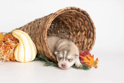 puppy219 week1 BowTiePomsky.com Bowtie Pomsky Puppy For Sale Husky Pomeranian Mini Dog Spokane WA Breeder Blue Eyes Pomskies Celebrity Puppy web1