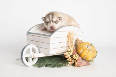 puppy219 week1 BowTiePomsky.com Bowtie Pomsky Puppy For Sale Husky Pomeranian Mini Dog Spokane WA Breeder Blue Eyes Pomskies Celebrity Puppy web5