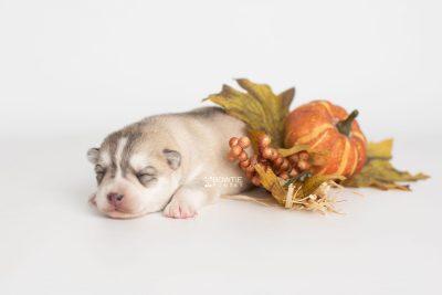 puppy219 week1 BowTiePomsky.com Bowtie Pomsky Puppy For Sale Husky Pomeranian Mini Dog Spokane WA Breeder Blue Eyes Pomskies Celebrity Puppy web7