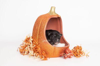 puppy222 week1 BowTiePomsky.com Bowtie Pomsky Puppy For Sale Husky Pomeranian Mini Dog Spokane WA Breeder Blue Eyes Pomskies Celebrity Puppy web5