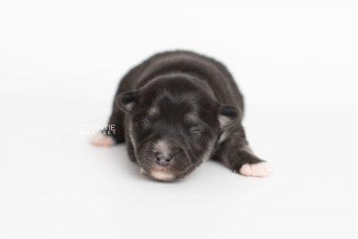 puppy222 week1 BowTiePomsky.com Bowtie Pomsky Puppy For Sale Husky Pomeranian Mini Dog Spokane WA Breeder Blue Eyes Pomskies Celebrity Puppy web7