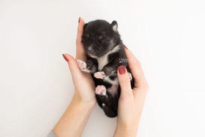 puppy222 week1 BowTiePomsky.com Bowtie Pomsky Puppy For Sale Husky Pomeranian Mini Dog Spokane WA Breeder Blue Eyes Pomskies Celebrity Puppy web8