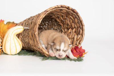 puppy224 week1 BowTiePomsky.com Bowtie Pomsky Puppy For Sale Husky Pomeranian Mini Dog Spokane WA Breeder Blue Eyes Pomskies Celebrity Puppy web1