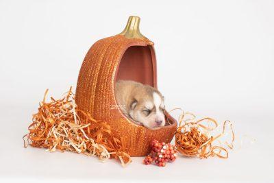 puppy224 week1 BowTiePomsky.com Bowtie Pomsky Puppy For Sale Husky Pomeranian Mini Dog Spokane WA Breeder Blue Eyes Pomskies Celebrity Puppy web4
