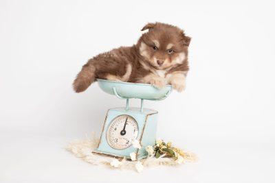 puppy210 week5 BowTiePomsky.com Bowtie Pomsky Puppy For Sale Husky Pomeranian Mini Dog Spokane WA Breeder Blue Eyes Pomskies Celebrity Puppy web2