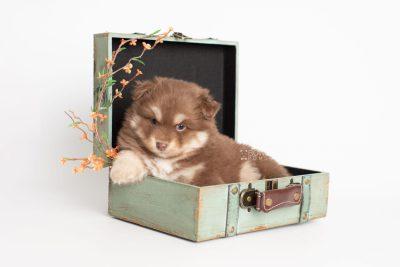 puppy210 week5 BowTiePomsky.com Bowtie Pomsky Puppy For Sale Husky Pomeranian Mini Dog Spokane WA Breeder Blue Eyes Pomskies Celebrity Puppy web5