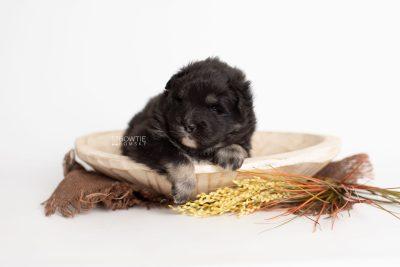 puppy213 week3 BowTiePomsky.com Bowtie Pomsky Puppy For Sale Husky Pomeranian Mini Dog Spokane WA Breeder Blue Eyes Pomskies Celebrity Puppy web2