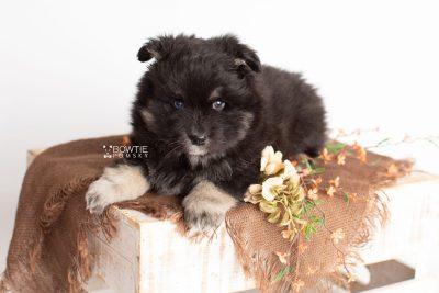puppy213 week5 BowTiePomsky.com Bowtie Pomsky Puppy For Sale Husky Pomeranian Mini Dog Spokane WA Breeder Blue Eyes Pomskies Celebrity Puppy web1