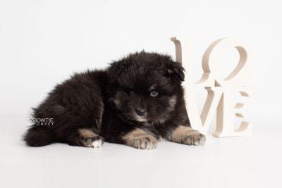 puppy213 week5 BowTiePomsky.com Bowtie Pomsky Puppy For Sale Husky Pomeranian Mini Dog Spokane WA Breeder Blue Eyes Pomskies Celebrity Puppy web5
