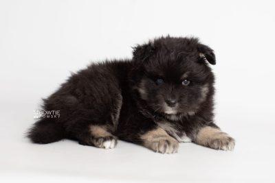 puppy213 week5 BowTiePomsky.com Bowtie Pomsky Puppy For Sale Husky Pomeranian Mini Dog Spokane WA Breeder Blue Eyes Pomskies Celebrity Puppy web6