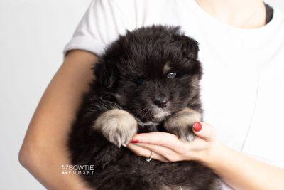 puppy213 week5 BowTiePomsky.com Bowtie Pomsky Puppy For Sale Husky Pomeranian Mini Dog Spokane WA Breeder Blue Eyes Pomskies Celebrity Puppy web9