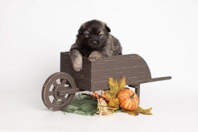 puppy214 week3 BowTiePomsky.com Bowtie Pomsky Puppy For Sale Husky Pomeranian Mini Dog Spokane WA Breeder Blue Eyes Pomskies Celebrity Puppy web1
