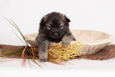 puppy214 week3 BowTiePomsky.com Bowtie Pomsky Puppy For Sale Husky Pomeranian Mini Dog Spokane WA Breeder Blue Eyes Pomskies Celebrity Puppy web2