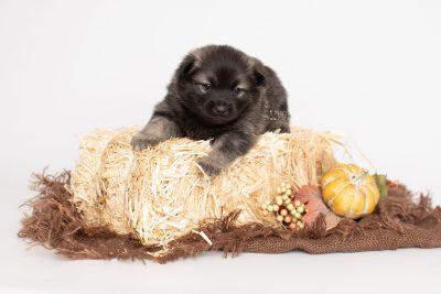 puppy214 week3 BowTiePomsky.com Bowtie Pomsky Puppy For Sale Husky Pomeranian Mini Dog Spokane WA Breeder Blue Eyes Pomskies Celebrity Puppy web3
