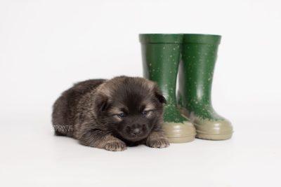 puppy214 week3 BowTiePomsky.com Bowtie Pomsky Puppy For Sale Husky Pomeranian Mini Dog Spokane WA Breeder Blue Eyes Pomskies Celebrity Puppy web4