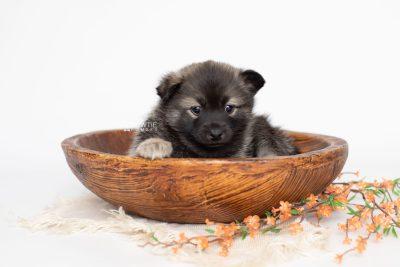puppy214 week5 BowTiePomsky.com Bowtie Pomsky Puppy For Sale Husky Pomeranian Mini Dog Spokane WA Breeder Blue Eyes Pomskies Celebrity Puppy web3