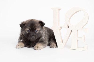 puppy214 week5 BowTiePomsky.com Bowtie Pomsky Puppy For Sale Husky Pomeranian Mini Dog Spokane WA Breeder Blue Eyes Pomskies Celebrity Puppy web4