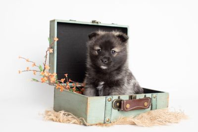 puppy215 week5 BowTiePomsky.com Bowtie Pomsky Puppy For Sale Husky Pomeranian Mini Dog Spokane WA Breeder Blue Eyes Pomskies Celebrity Puppy web1