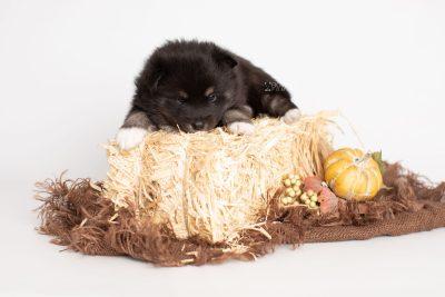 puppy217 week3 BowTiePomsky.com Bowtie Pomsky Puppy For Sale Husky Pomeranian Mini Dog Spokane WA Breeder Blue Eyes Pomskies Celebrity Puppy web3