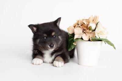 puppy217 week5 BowTiePomsky.com Bowtie Pomsky Puppy For Sale Husky Pomeranian Mini Dog Spokane WA Breeder Blue Eyes Pomskies Celebrity Puppy web1