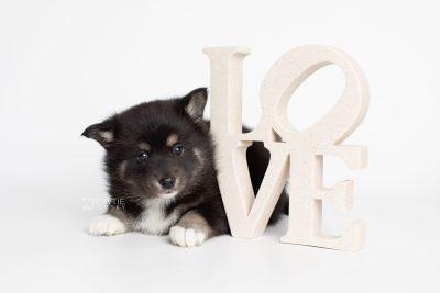 puppy217 week5 BowTiePomsky.com Bowtie Pomsky Puppy For Sale Husky Pomeranian Mini Dog Spokane WA Breeder Blue Eyes Pomskies Celebrity Puppy web6