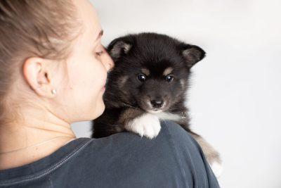puppy217 week5 BowTiePomsky.com Bowtie Pomsky Puppy For Sale Husky Pomeranian Mini Dog Spokane WA Breeder Blue Eyes Pomskies Celebrity Puppy web8