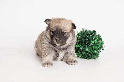 puppy218 week3 BowTiePomsky.com Bowtie Pomsky Puppy For Sale Husky Pomeranian Mini Dog Spokane WA Breeder Blue Eyes Pomskies Celebrity Puppy web5