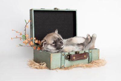 puppy218 week5 BowTiePomsky.com Bowtie Pomsky Puppy For Sale Husky Pomeranian Mini Dog Spokane WA Breeder Blue Eyes Pomskies Celebrity Puppy web1