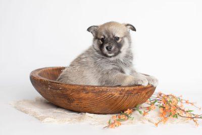 puppy218 week5 BowTiePomsky.com Bowtie Pomsky Puppy For Sale Husky Pomeranian Mini Dog Spokane WA Breeder Blue Eyes Pomskies Celebrity Puppy web4