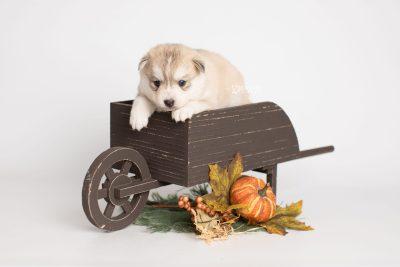 puppy219 week3 BowTiePomsky.com Bowtie Pomsky Puppy For Sale Husky Pomeranian Mini Dog Spokane WA Breeder Blue Eyes Pomskies Celebrity Puppy web1