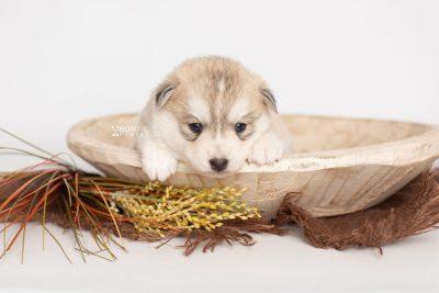 puppy219 week3 BowTiePomsky.com Bowtie Pomsky Puppy For Sale Husky Pomeranian Mini Dog Spokane WA Breeder Blue Eyes Pomskies Celebrity Puppy web2