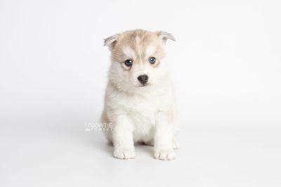 puppy219 week5 BowTiePomsky.com Bowtie Pomsky Puppy For Sale Husky Pomeranian Mini Dog Spokane WA Breeder Blue Eyes Pomskies Celebrity Puppy web6