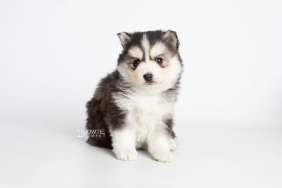 puppy221 week5 BowTiePomsky.com Bowtie Pomsky Puppy For Sale Husky Pomeranian Mini Dog Spokane WA Breeder Blue Eyes Pomskies Celebrity Puppy web1