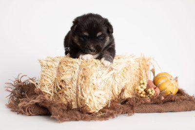 puppy222 week3 BowTiePomsky.com Bowtie Pomsky Puppy For Sale Husky Pomeranian Mini Dog Spokane WA Breeder Blue Eyes Pomskies Celebrity Puppy web3