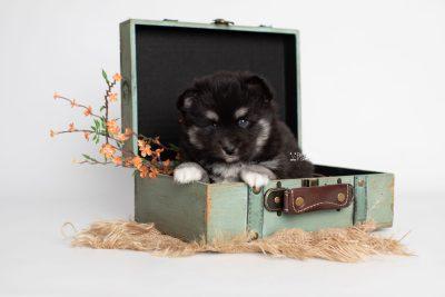 puppy222 week5 BowTiePomsky.com Bowtie Pomsky Puppy For Sale Husky Pomeranian Mini Dog Spokane WA Breeder Blue Eyes Pomskies Celebrity Puppy web1