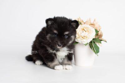 puppy222 week5 BowTiePomsky.com Bowtie Pomsky Puppy For Sale Husky Pomeranian Mini Dog Spokane WA Breeder Blue Eyes Pomskies Celebrity Puppy web4