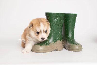 puppy224 week3 BowTiePomsky.com Bowtie Pomsky Puppy For Sale Husky Pomeranian Mini Dog Spokane WA Breeder Blue Eyes Pomskies Celebrity Puppy web5
